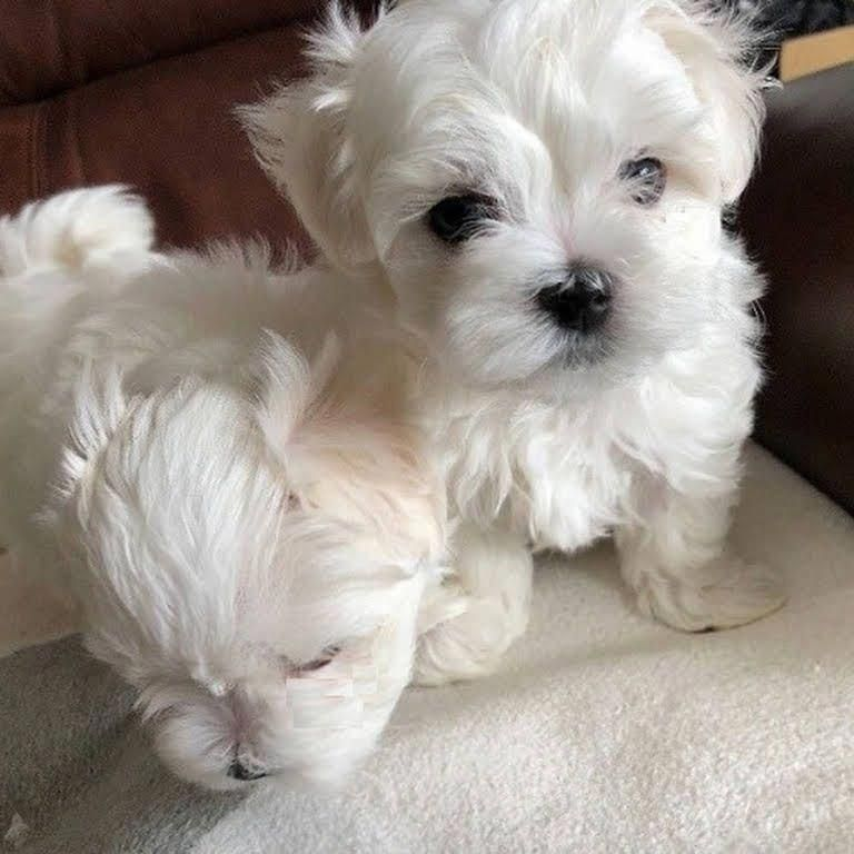 Micro Teacup Maltese Puppies For Sale Maltese Puppy Teacup Puppies Maltese Micro Teacup Puppies