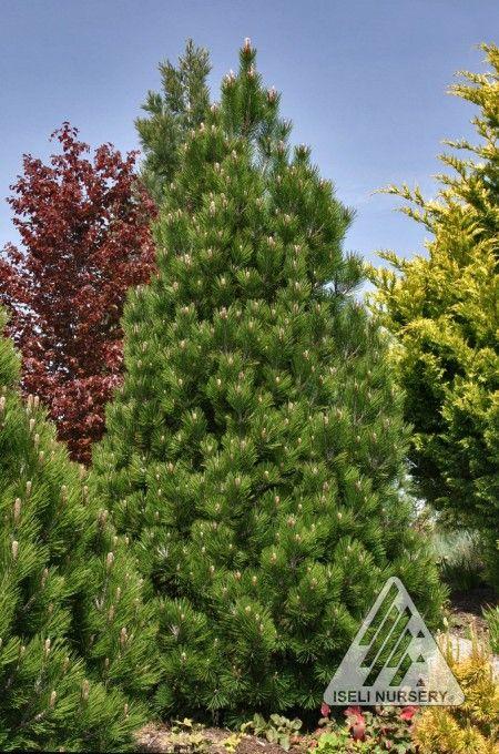 Pinus Leucodermis Compact Gem A Very Slow Growing Narrow