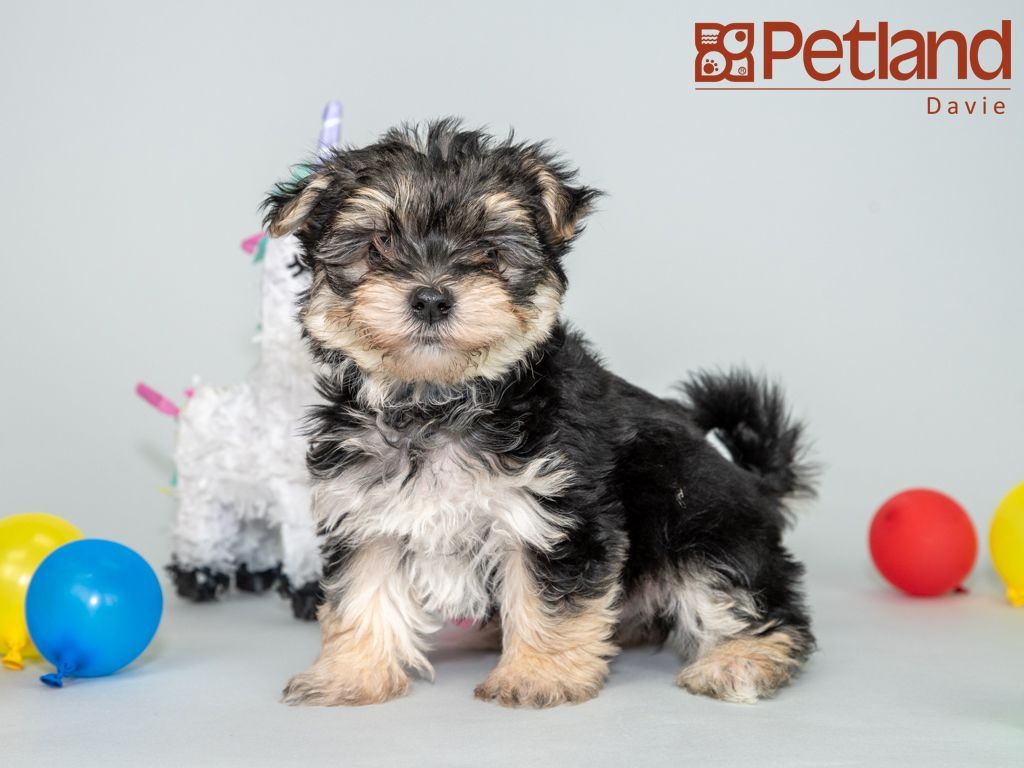 Petland Florida Has Morkie Puppies For Sale Interested In Finding Out More About This Breed Check Out Ou Morkie Puppies Morkie Puppies For Sale Puppy Friends