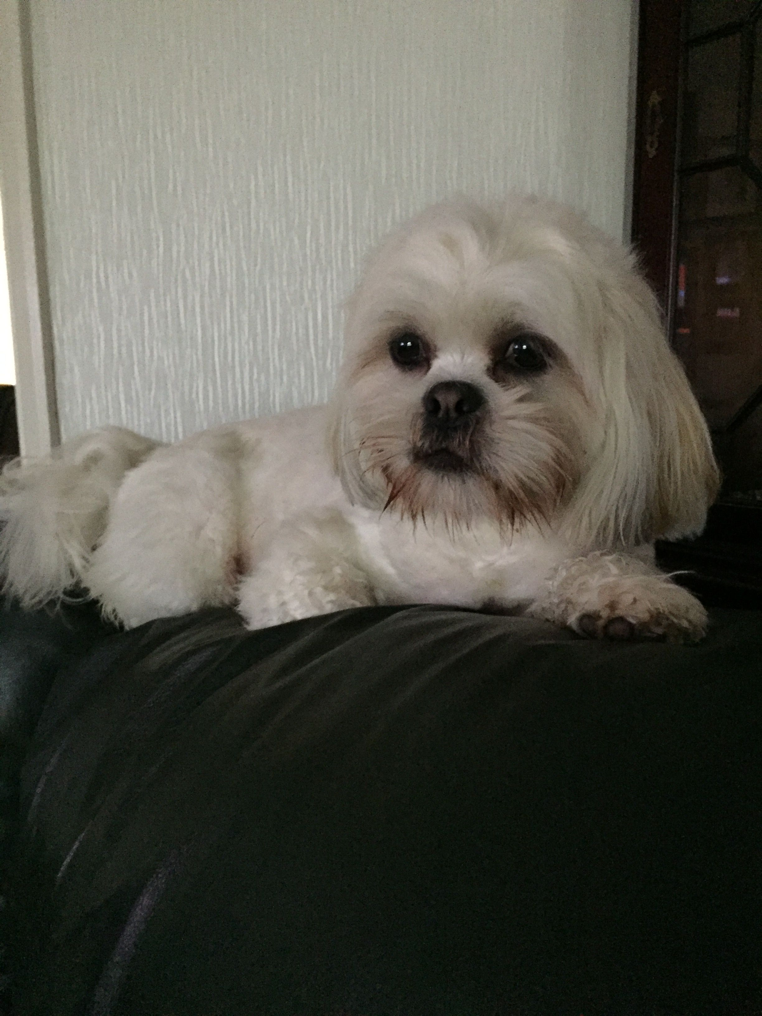 Pin by Sara on new lhaso's Lhasa apso, Pets, Dog grooming