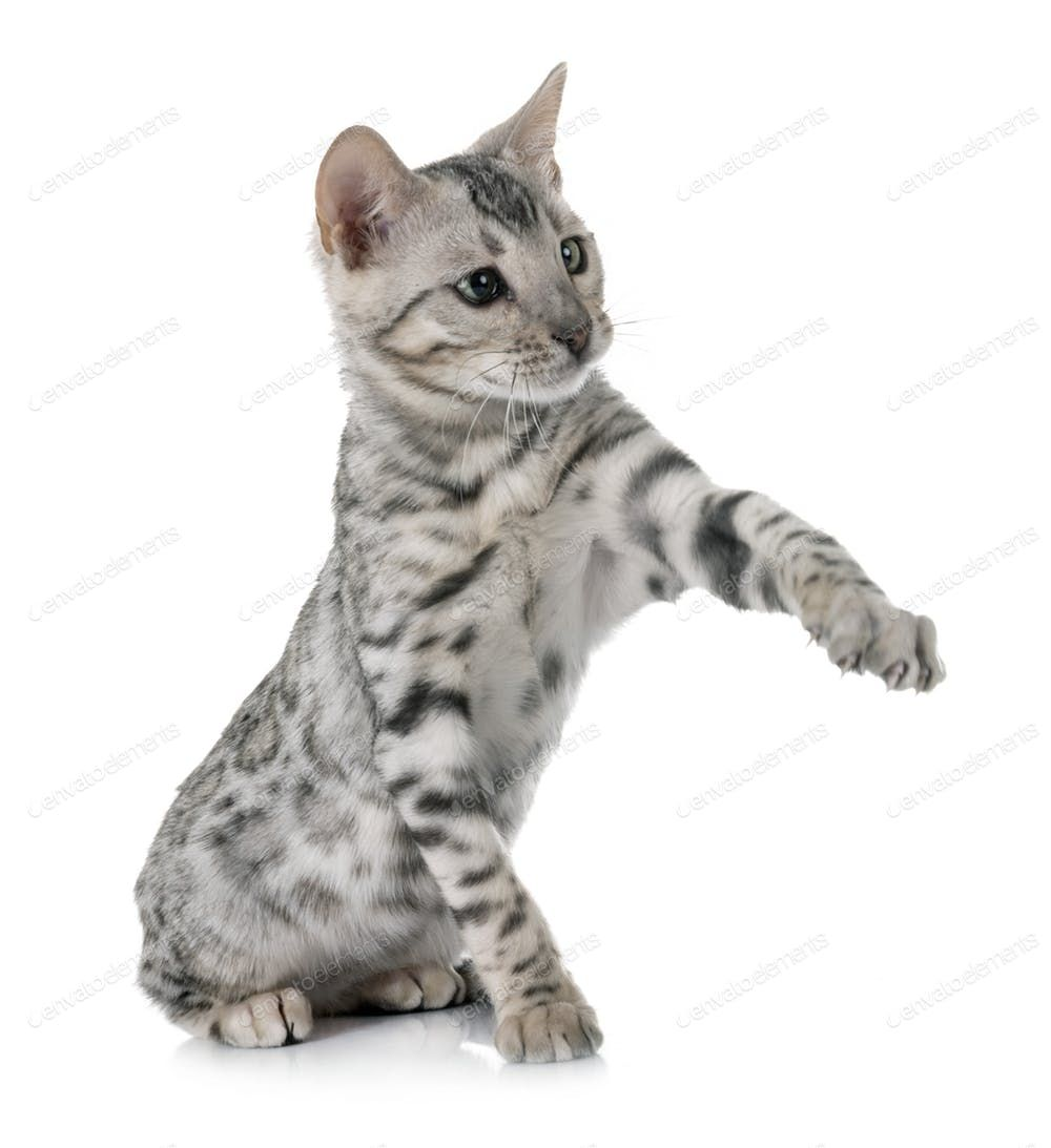 Bengal Kitten In Studio Photo By Cynoclub On Envato Elements Bengal Kitten Bengal Cat Kitten