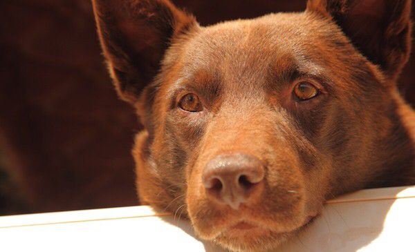 Red Dog Kelpie Cattle Cross Dog Referred To As Red Cloud Kelpie Legendary Dog That Roamed The Australian Outbac Red Dog Australian Dog Breeds Famous Dogs
