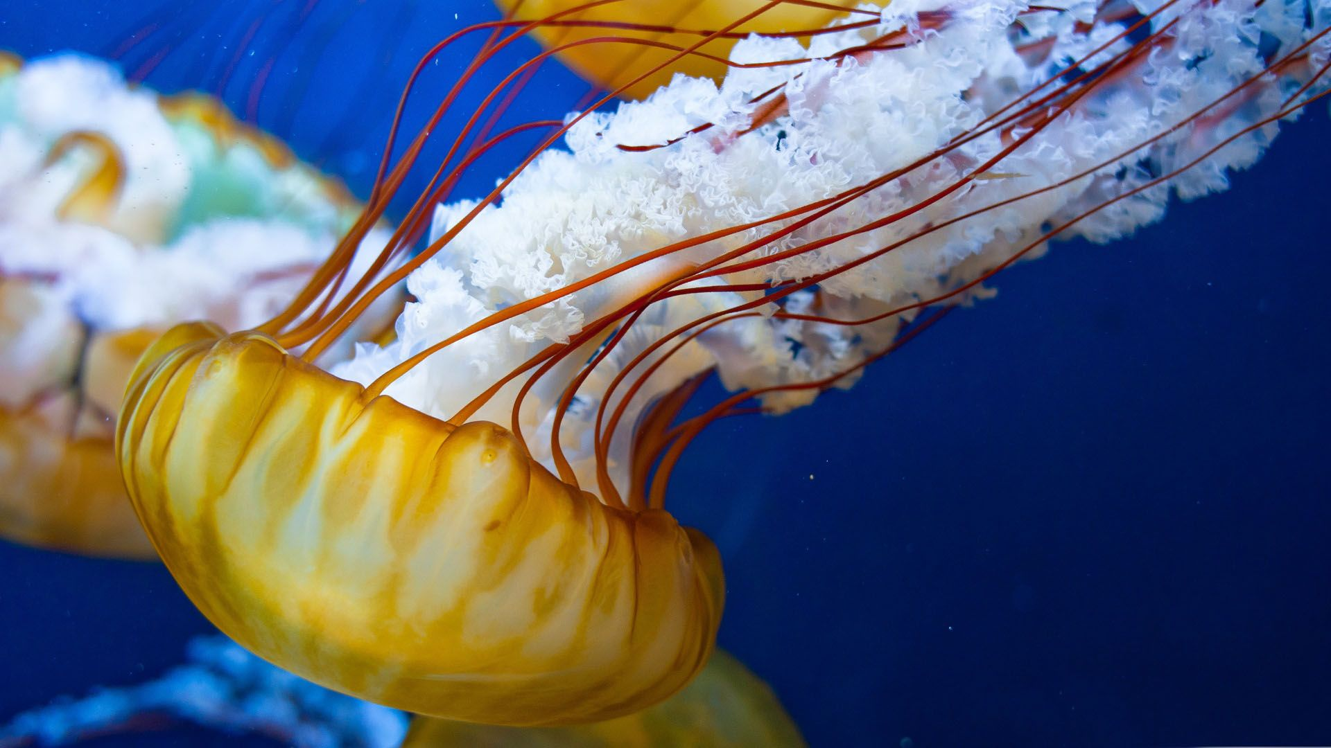 Beautiful Jellyfish Wallpaper