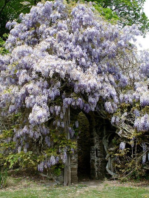 wisteria garden ideas pinterest klettern pflanzen und g rten. Black Bedroom Furniture Sets. Home Design Ideas