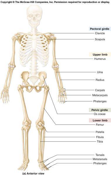appendicular skeleton appendicular skeleton p 219 249 chapter 8 nursing school pinterest. Black Bedroom Furniture Sets. Home Design Ideas