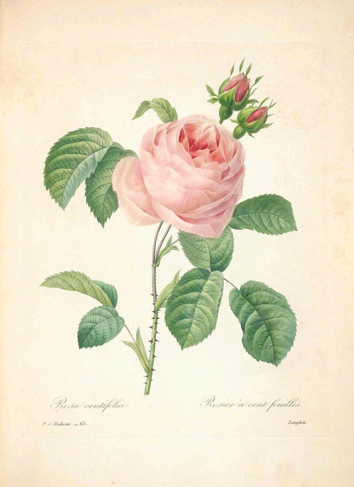 ピエール=ジョゼフ・ルドゥーテ | ピエール, 植物
