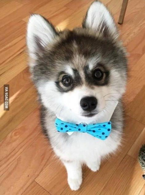This Is Norman The Pomsky He S A Hybrid Of Husky And Pomeranian He Will Stay This Small Size Forever You Re Ok To Cry Pomsky Puppies Pomsky Dog Meet