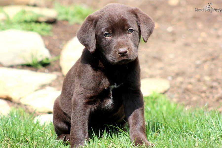 Meet Flower a cute Labrador Retriever puppy for sale for
