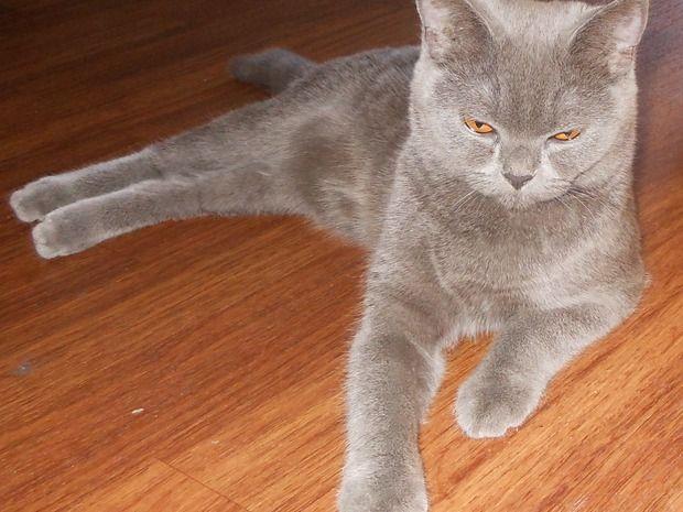 Bildhübsches scottish straight Kätzchen sucht