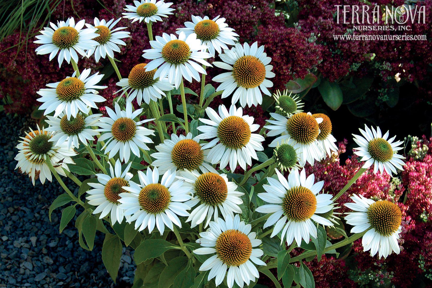 Pin On Sun Perennials