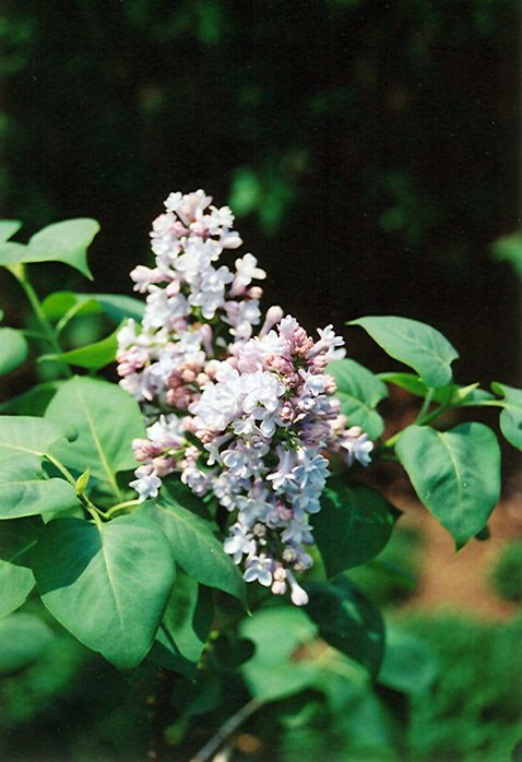 click to view full-size photo of president grevy lilac (syringa, Garten ideen