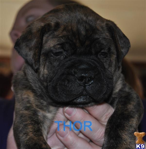 images of unique puppies | RACINE, WI USA Bullmastiff