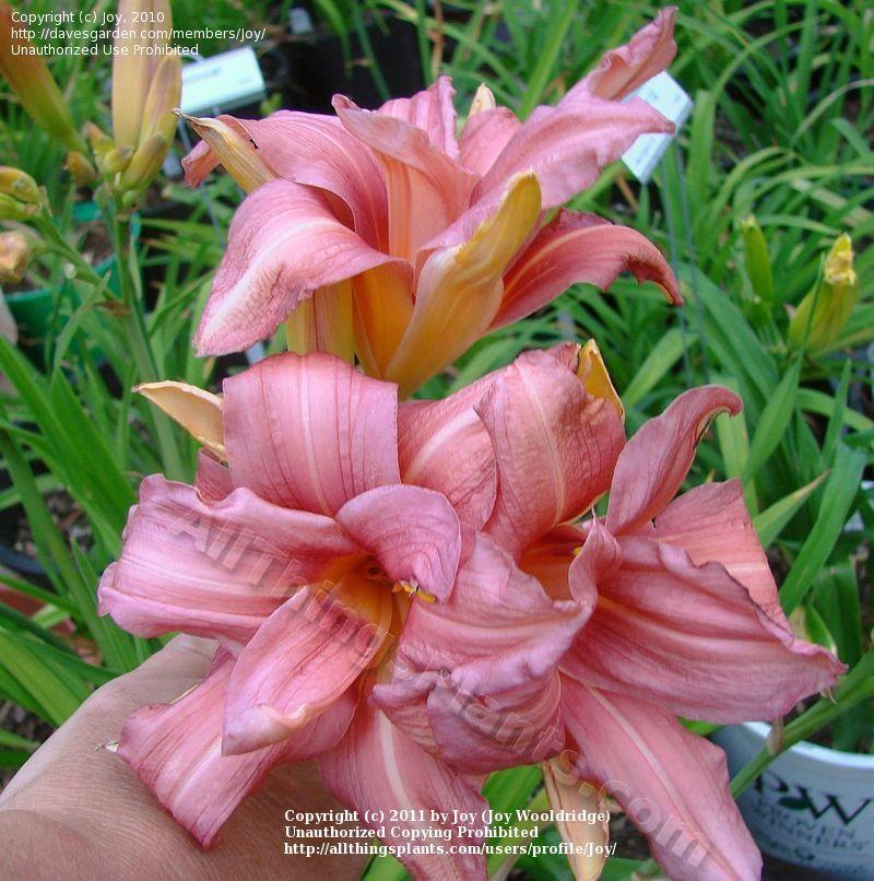 Daylily Hemerocallis Double Passion Uploaded By Joy Day