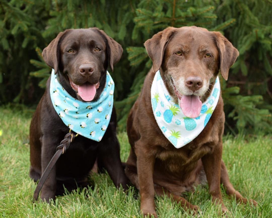 Pin on My cute chocolate lab dogs