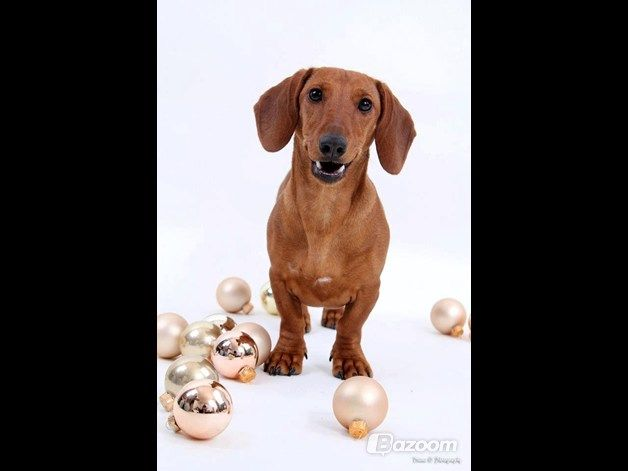 dachshund christmas picture