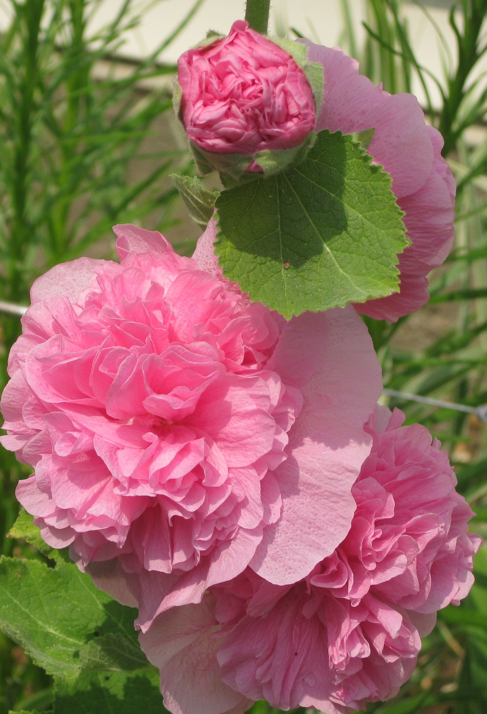 The simple Hollyhock is a beauty. Flowers perennials