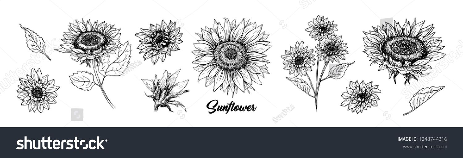 Sunflower Hand Drawn Vector Collection Floral Ink Pen Sketch Black And White Clipart Realistic Wildflower Freehand Drawing Isolated Mon How To Draw Hands Drawings Sunflower Clipart