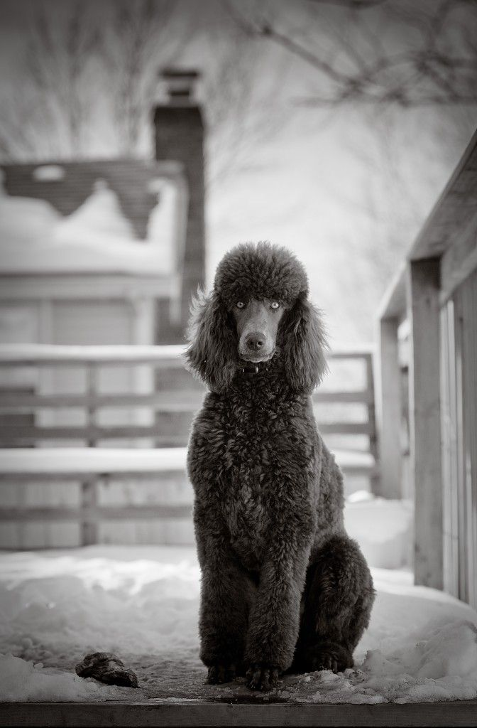 Stunning Standard Poodle Jackson Photography Kansas City Pet