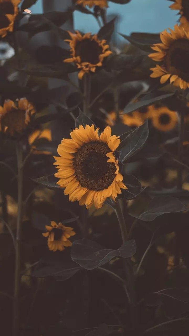 Pin by Karina Morales. on Wallpaper. Sunflower iphone