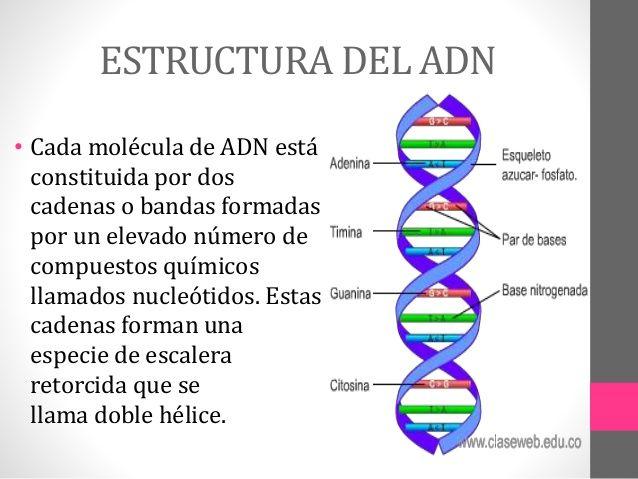 Estructura Y Funcion Del Adn Molecula Del Adn Molecula De Adn Maqueta Adn Y Arn