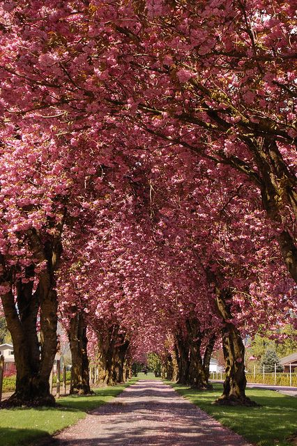 Cherry Blossom Road Beautiful Nature Blossom Trees Beautiful Landscapes