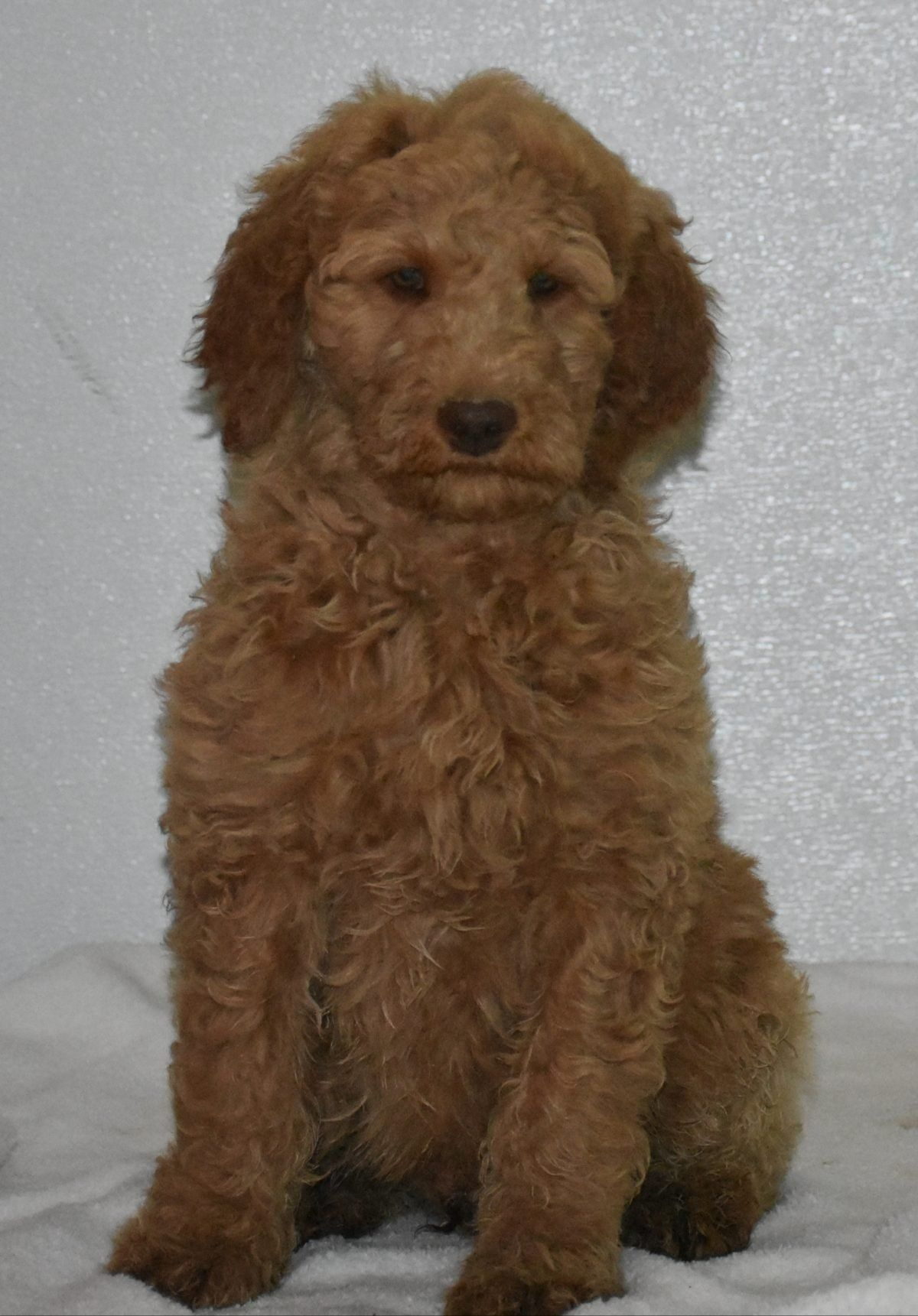 Alex Goldendoodle Puppies Near Fort Wayne Indiana Funny