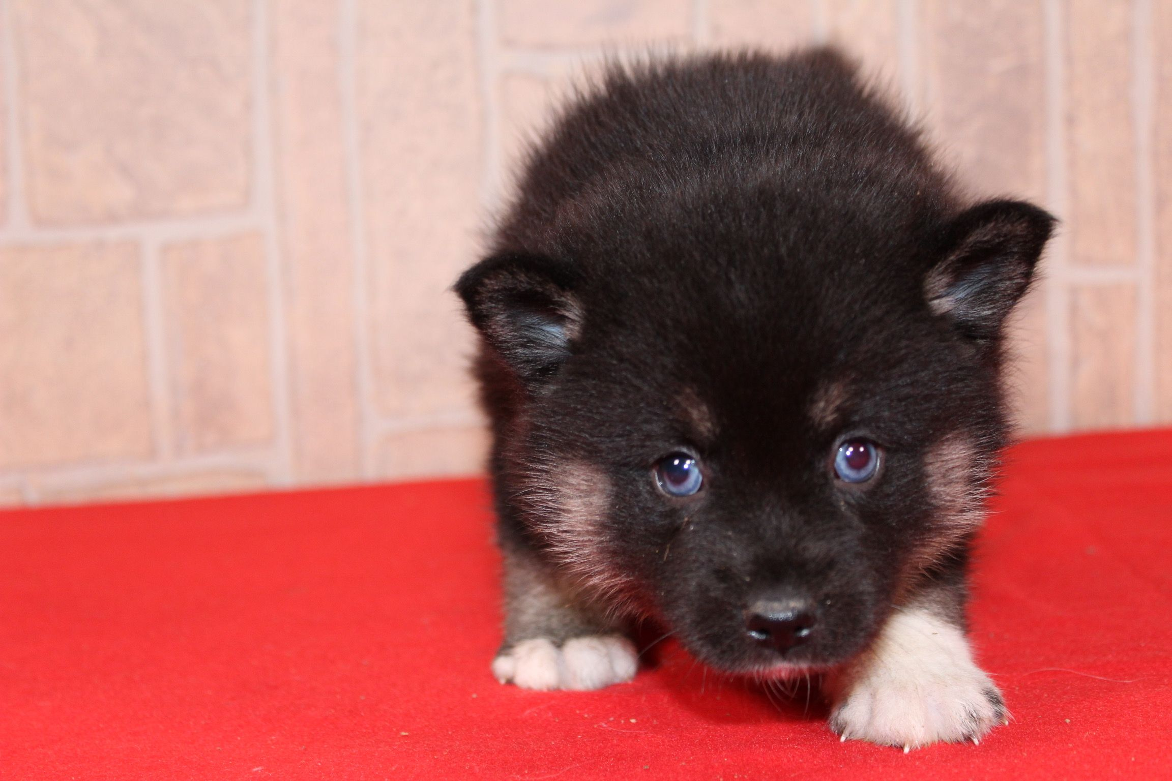 Eska A Newborn Ckc Female Pomsky In Indiana Find Cute Pomsky