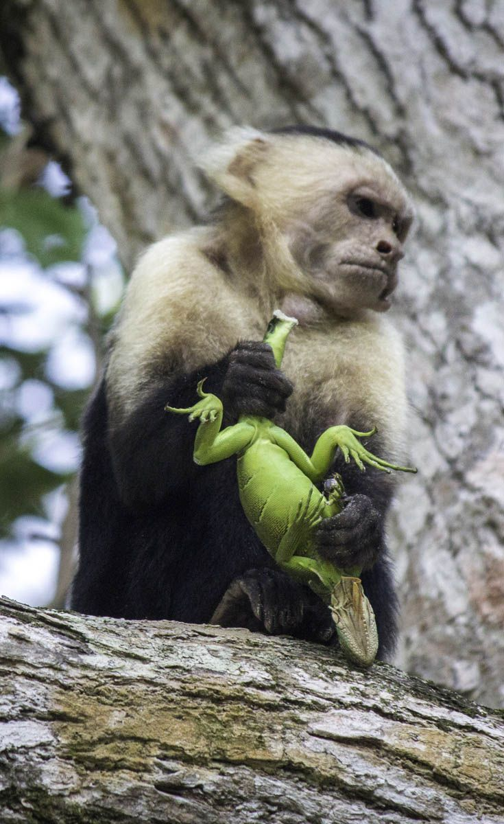 A Monkey Catches And Eats Lizard At Manuel Antonio National Park Costa Rica