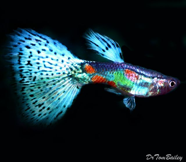 They May Be Found In Any Store That Sells Fish And Come In A Selection Of Shapes And Colors In Terms Of The Categories T Guppy Fish Guppy Tropical Fish Tanks