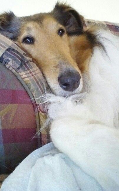 All collies are beautiful