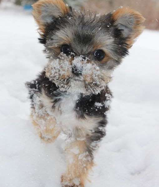 Playing In The Snow Is A Very Underrated Activity Share This On Facebook Image Via Reddit Mom Me Yorkshire Terrier Puppies Yorkie Puppy Yorkie