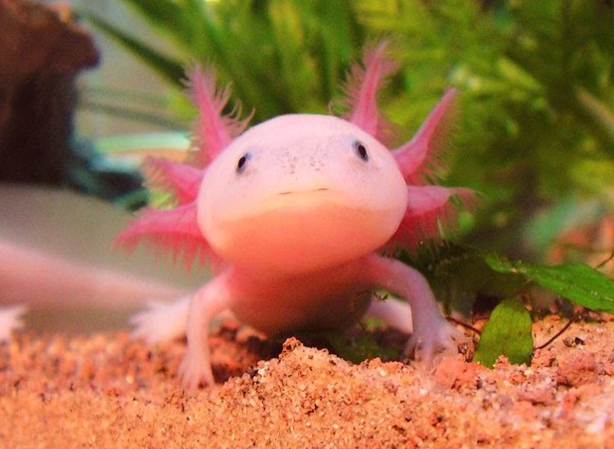 Axolotl | aminals | Pinterest | Axolotl, Animal and Axolotl tank for Cute Deep Sea Creatures  75sfw