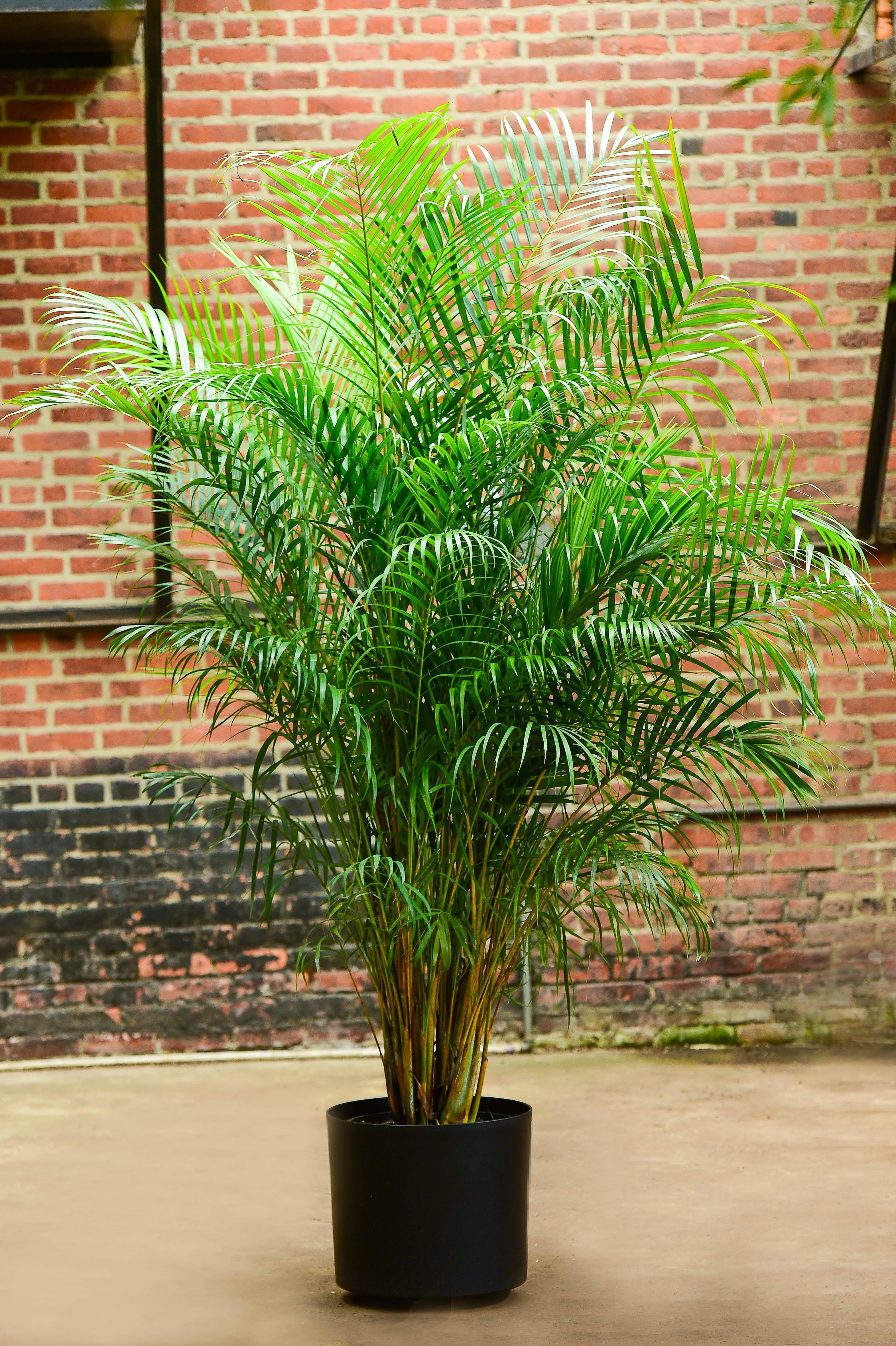 34++ Areca palms for sale near me info