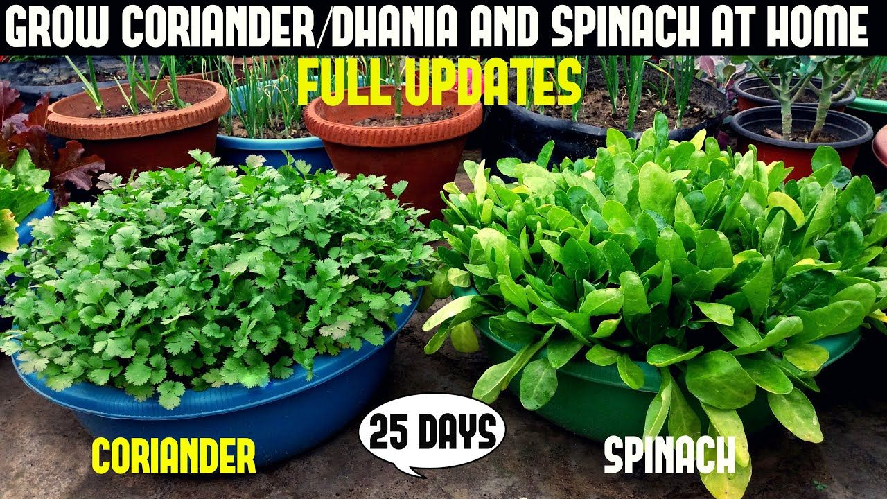 Grow coriander and spinach easily at home full updates