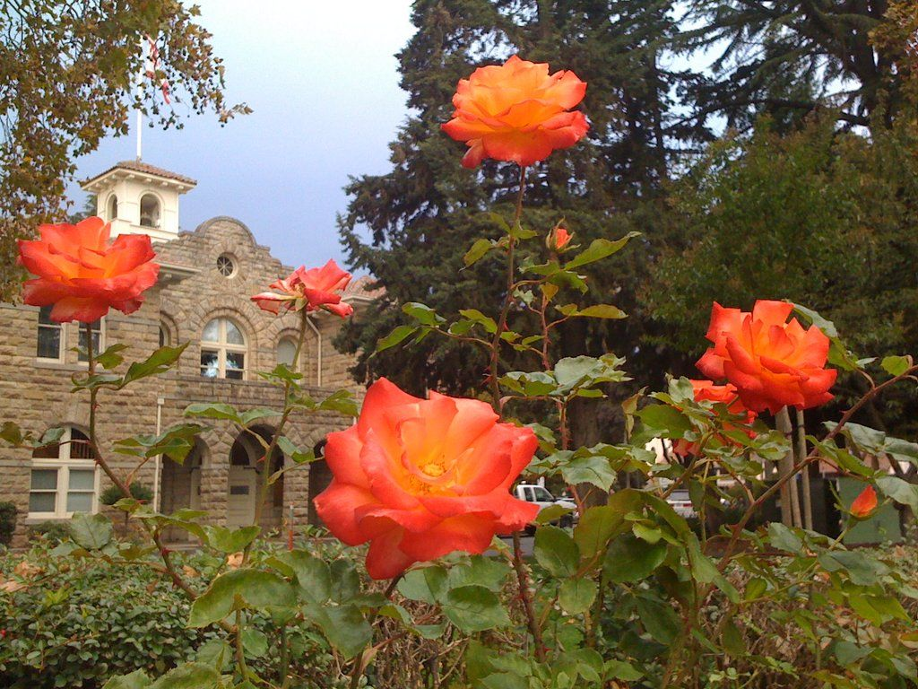 A view of Sonoma City Hall from the Historic Sonoma Plaza rose ...