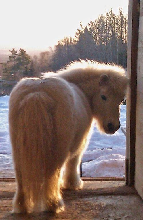 Thelwell: Shetland Pony | Beauty of Horses | Pinterest | Pony ...