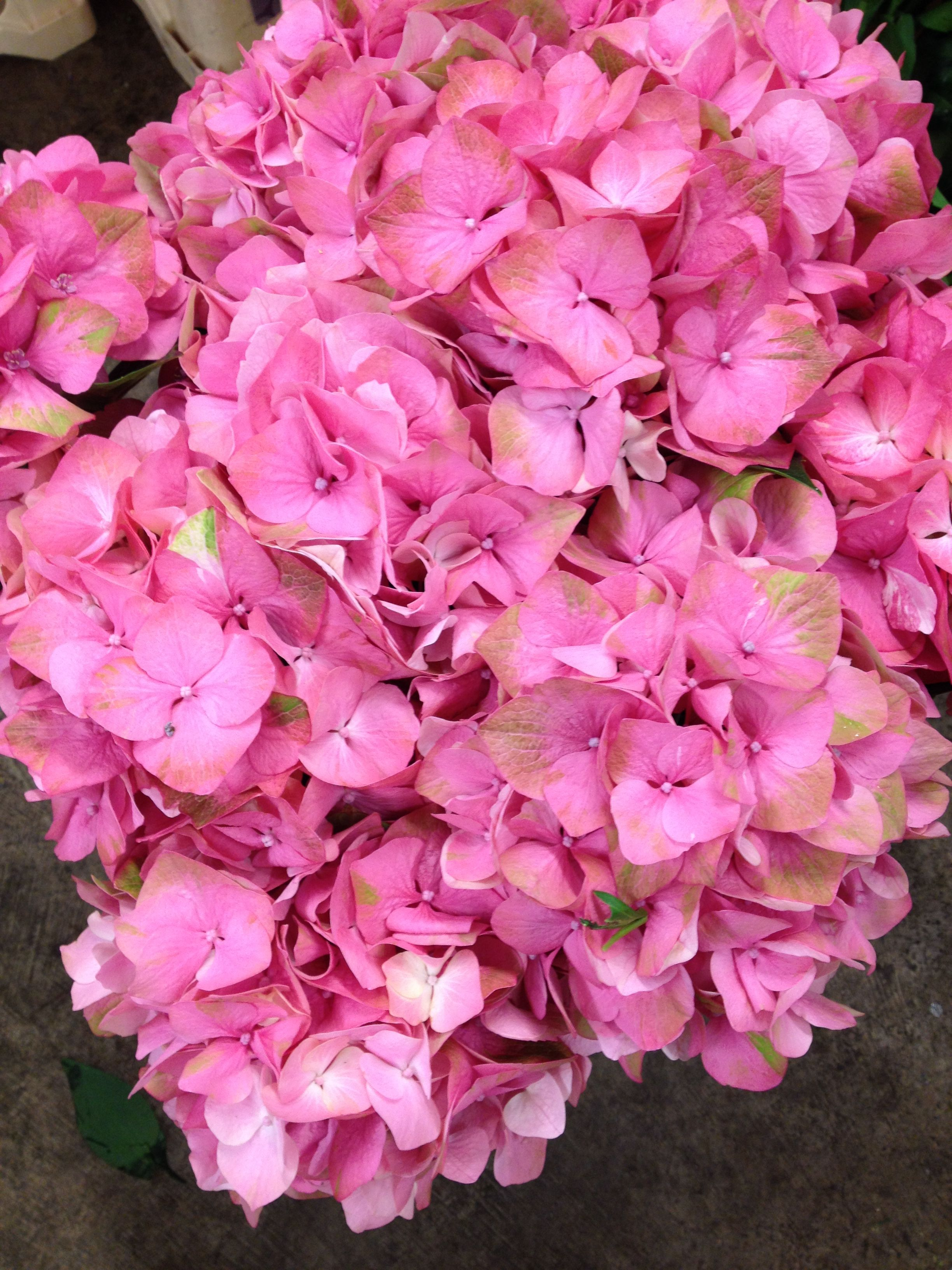 Hydrangea Called Mango Sold In Bunches Of Stems From The