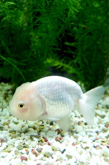 Goldfish Goldfish Species Fish Beautiful Fish