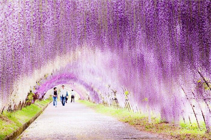 Wisteria Flower Tunnel, Japan #travel #places