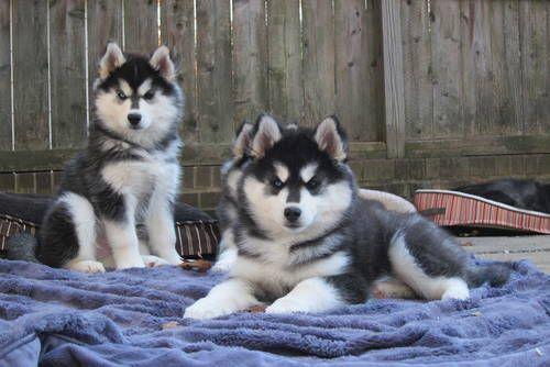 stunning woolly, BLUE EYES , purebred siberian husky puppies! !!!