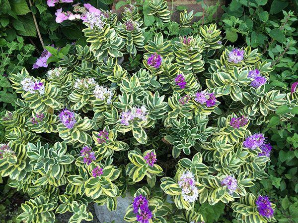 Hebe Silver Queen Garden Shade Garden Plants
