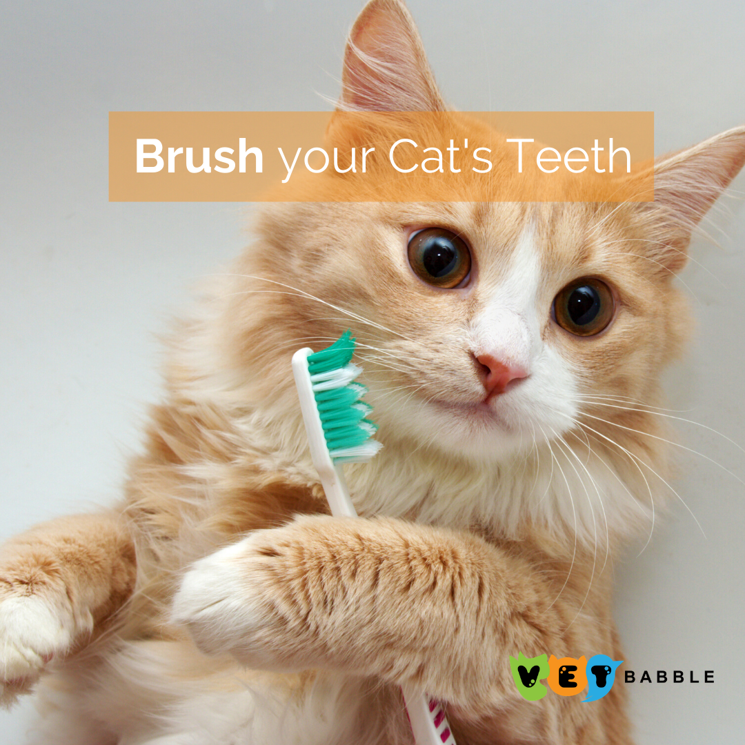 Brushing Your Cat S Teeth Dental Care For Your Cat Vetbabble In 2020 Cats Cat Care Cute Cats