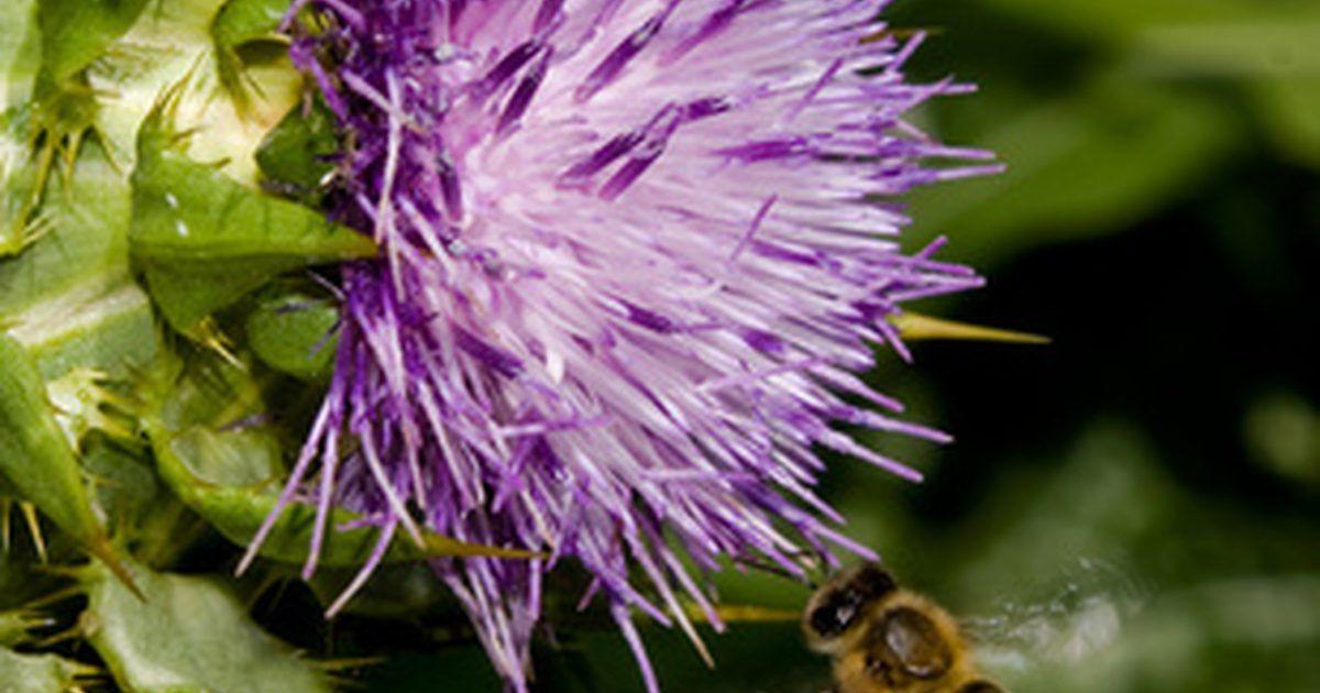 Flores que abelhas não gostam. Ao determinar quais flores repelem as abelhas, primeiro pense no elas necessitam em uma flor. As abelhas estão à procura de pólen e néctar, a sua fonte de alimento. Eles procuram flores com pétalas resistentes para estabilização à medida que atingem o néctar com a língua. Também são atraídas pela cor e aroma. Inverter em todos os fatores que as ...
