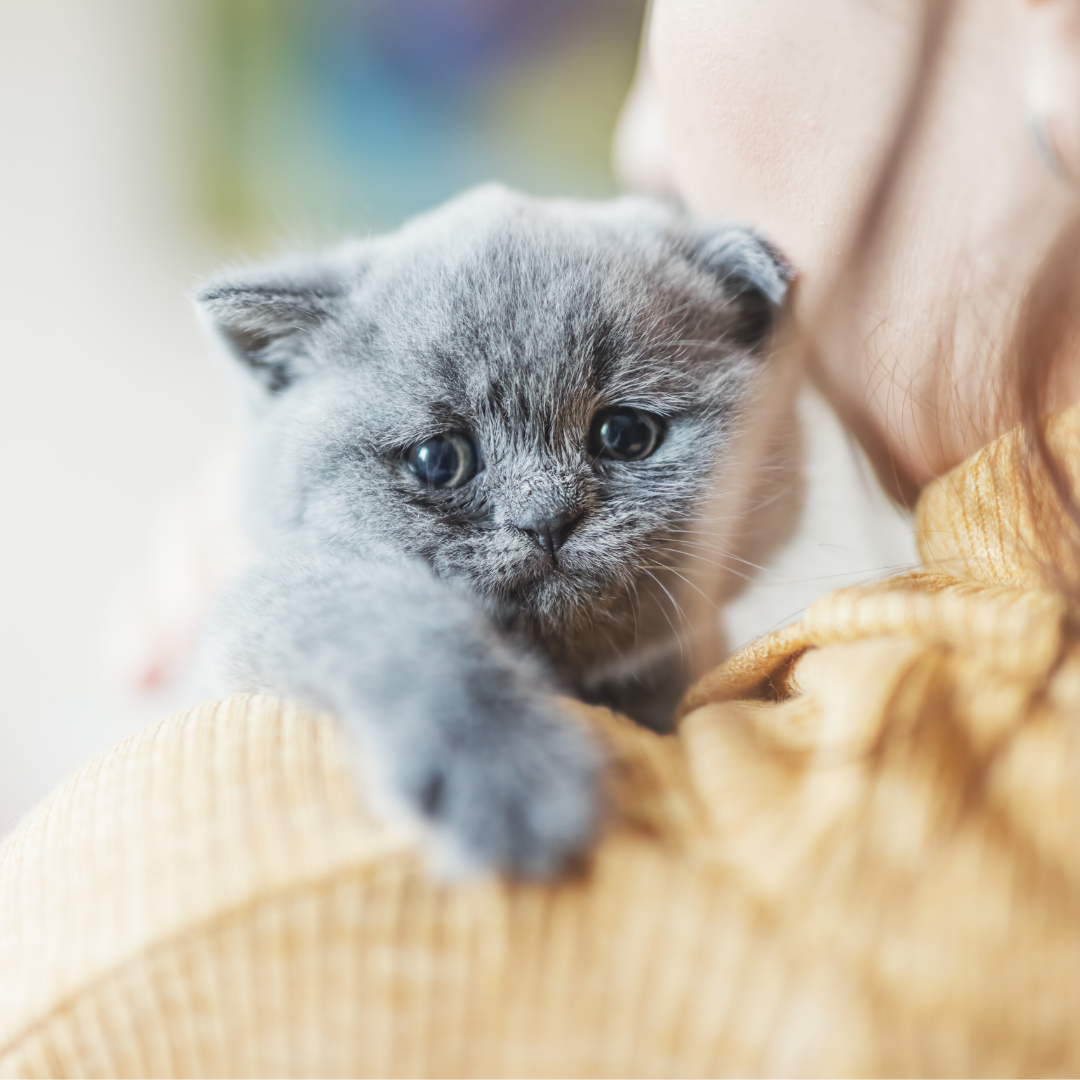 Coccidia in Cats and Kittens What It Is and How to Treat It
