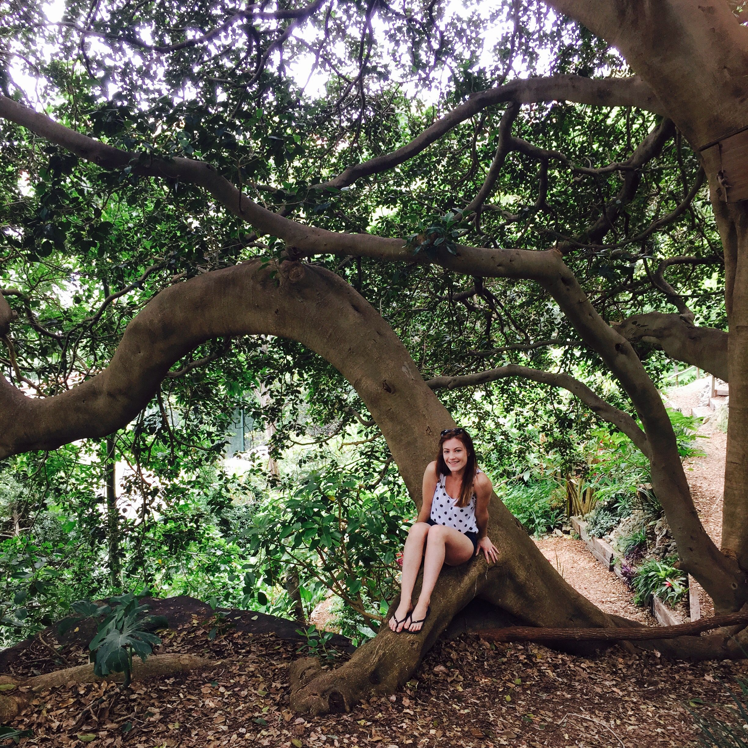 Sydney bush walk - whitely garden - lavender bay - Australian Morton Bay Fig tree