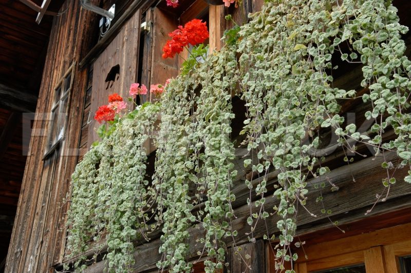 glechoma hederacea variegata balkonpflanzen nordseite pinterest h ngende pflanzen. Black Bedroom Furniture Sets. Home Design Ideas