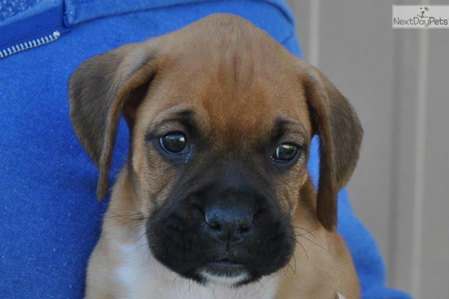 Meet Hunter A Cute Boxer Puppy For Sale For 800 Akc Boxer Fawn Male Hunter Champion Lines Boxer Puppies Cute Boxer Puppies Boxer Puppy