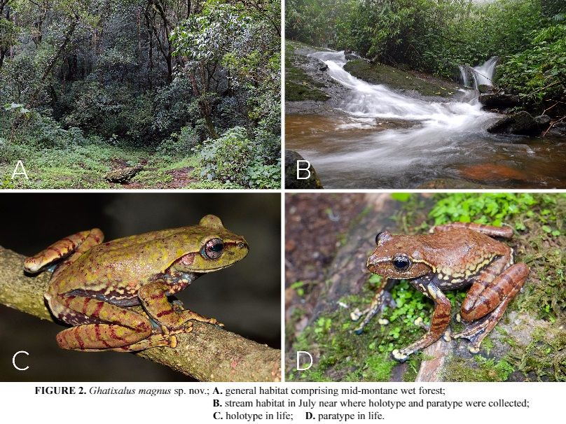 Species New to Science: [Herpetology • 2015] Ghatixalus magnus • A Novel Third Species of the Western Ghats Endemic Genus Ghatixalus (Anura: Rhacophoridae), with Description of its Tadpole