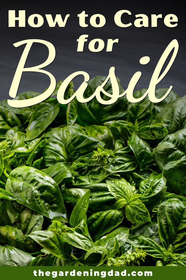 how to grow basil from seed outdoors