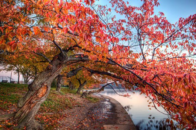 Cherry Blossoms In The Autumn Famousdc Cherry Blossom Fall Season Seasons